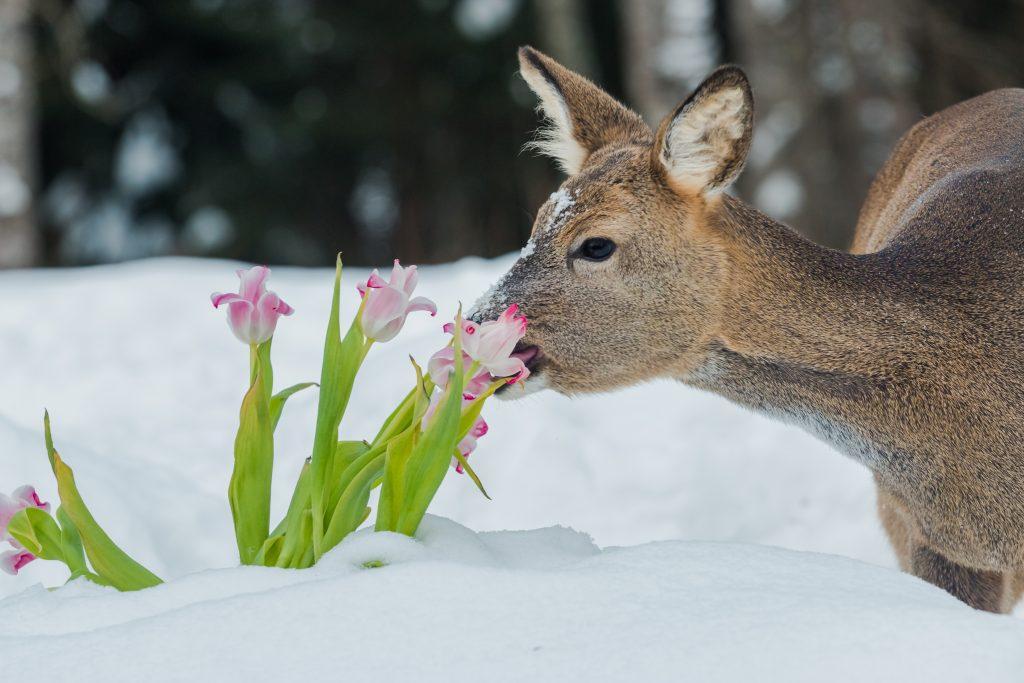 A deer eating tulips
