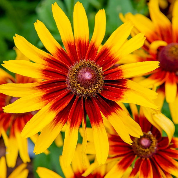 The Denver Daisy rudbeckia is known for its sunburst pattern of appearance