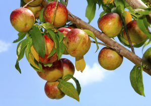 Fruit trees that grow in the desert are very popular