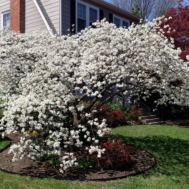 Dogwood trees attract beneficial insects and birds.