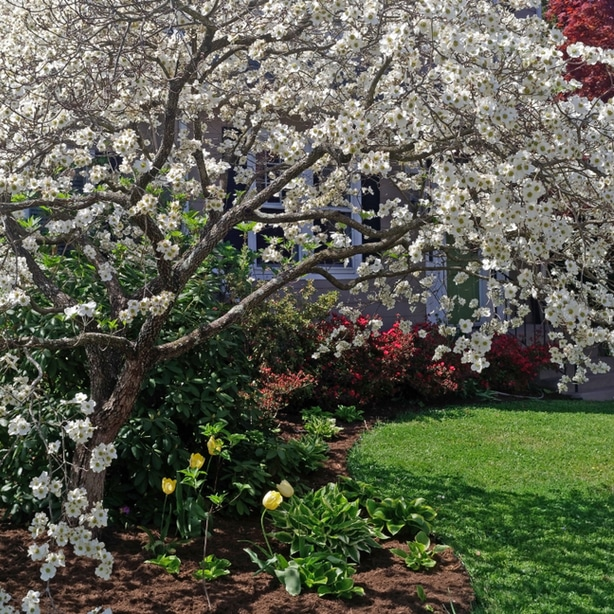 dogwood tree are beautiful centerpieces in gardens.