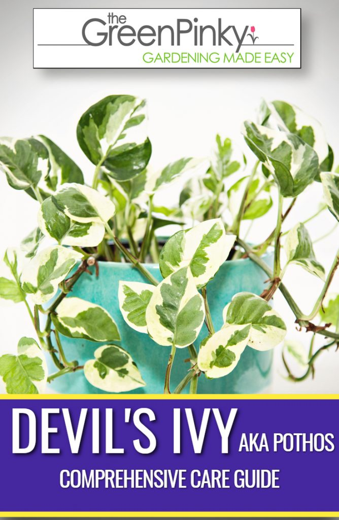 Care guide to raise healthy devil's ivy plant like this one.