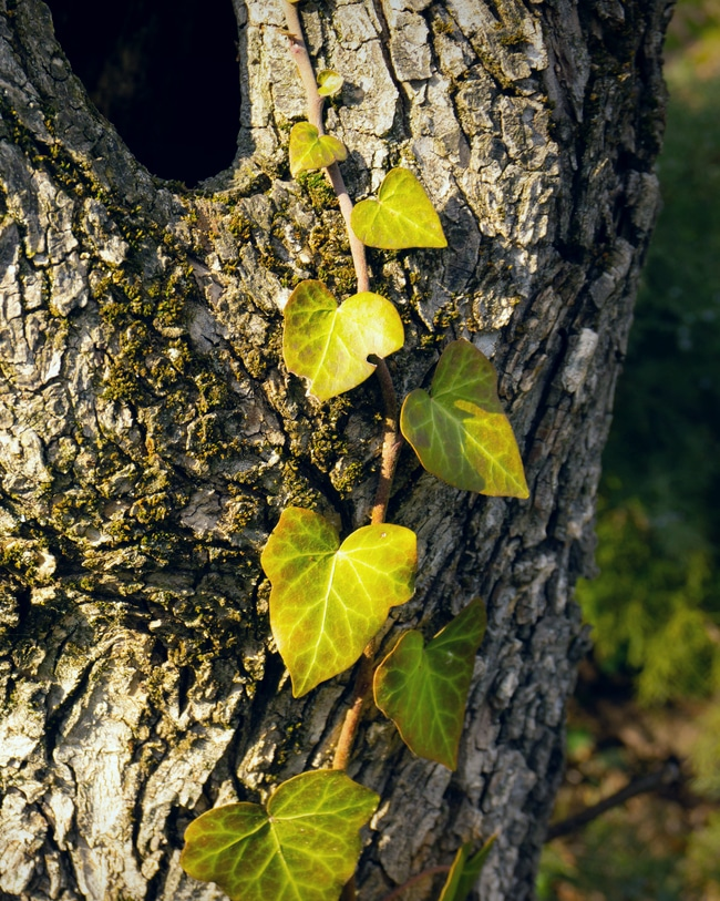 A devil's ivy plant is seen naturally growing up a tree
