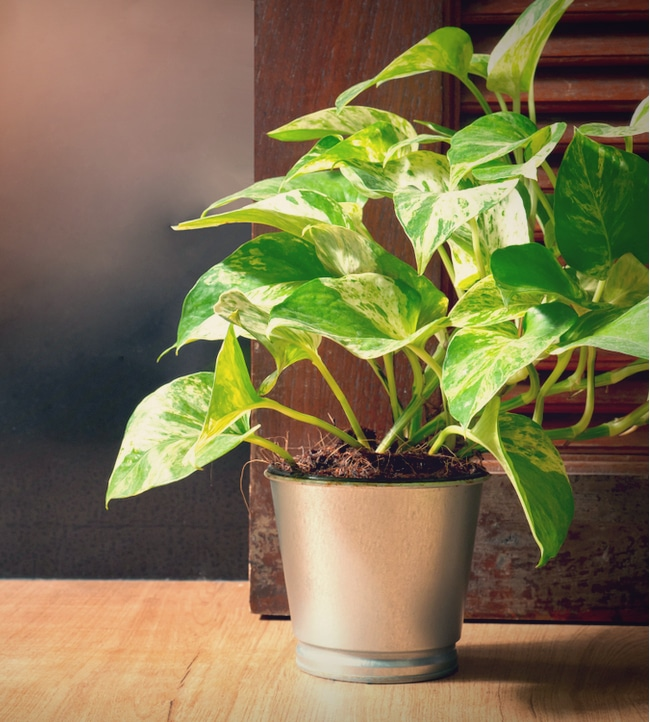 Pothos growing in a steel container on the ground can be toxic to pets.