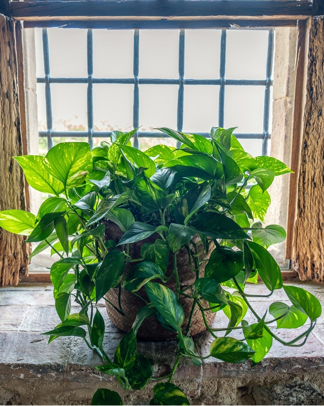 A pothos plant that has been given proper care and maintenance is in front of a window