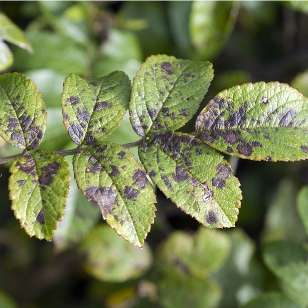 Black spot disease is a problematic fungal infection