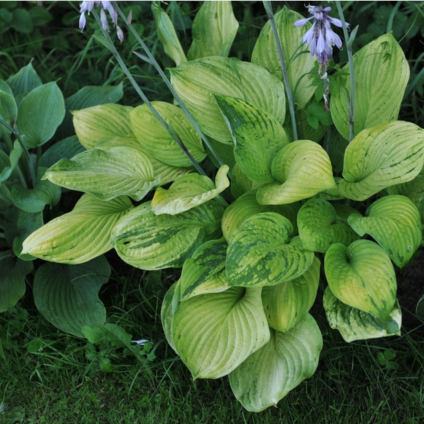 Diseases and viruses can infect hostas such as the virus x