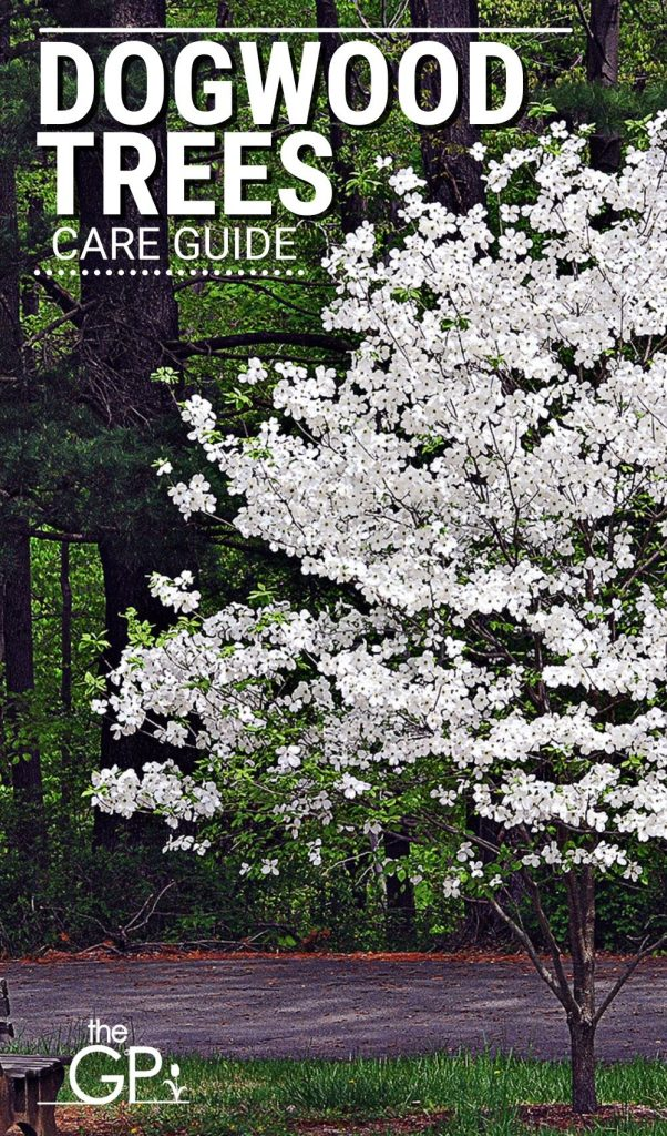Healthy dogwood require care from a guide and proper instructions