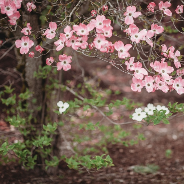 Dogwood produce beautiful blooms when given proper care