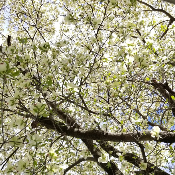 Dogwood foliage is just as beautiful as its flowers