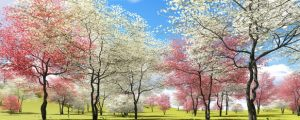 Beautiful dogwood trees that have bloomed