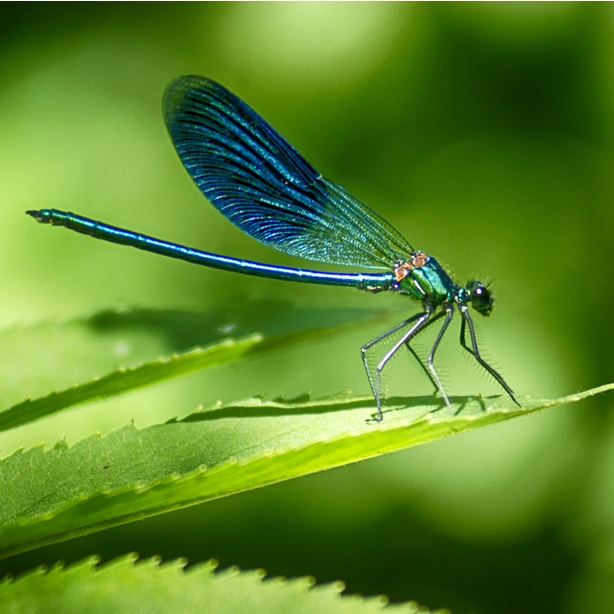 These large-winged dragonflies help to remove mosquitos and other flying pests.