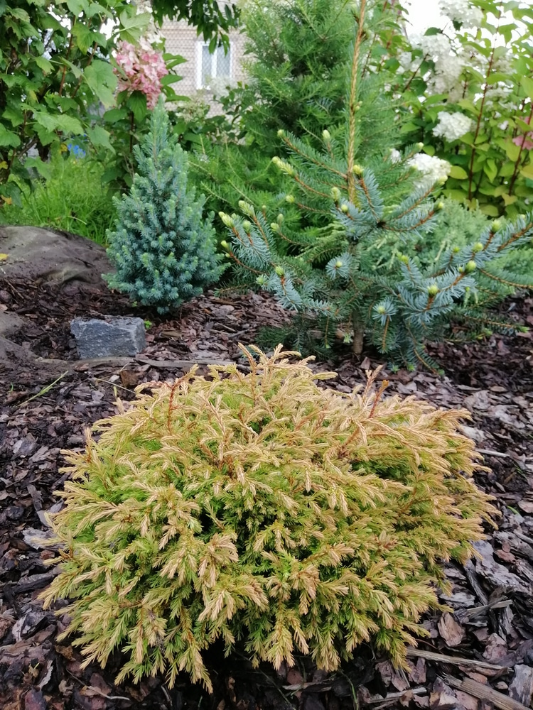 Dwarf golden have foliage that matches its name.