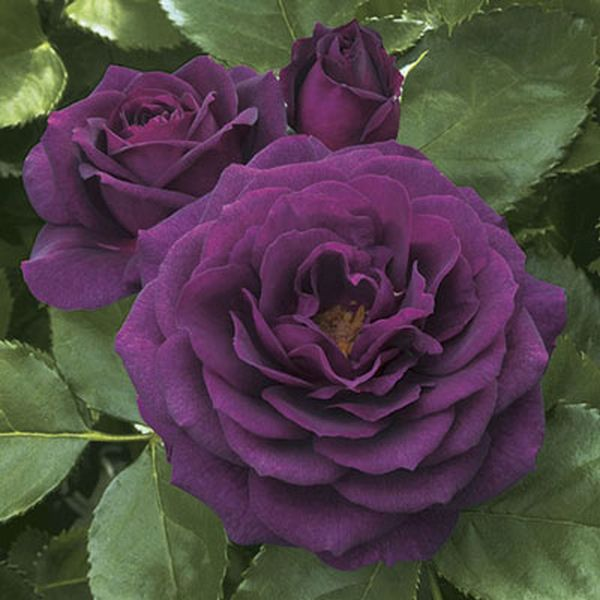 The ebb tide produces dark and inky purple blooms