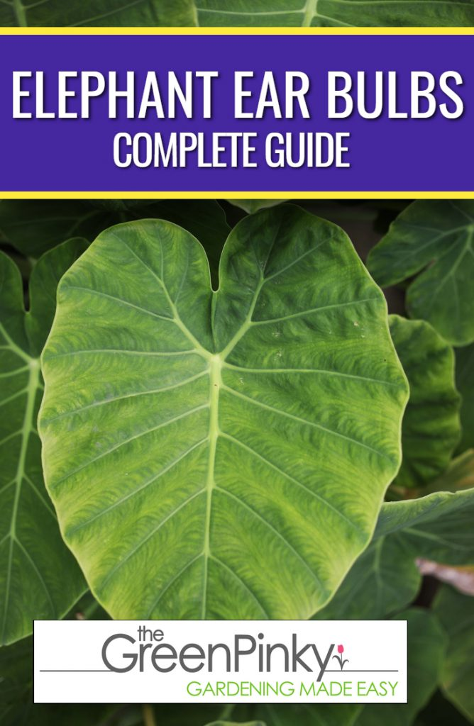 Elephant ear require proper water, sun, and fertilization to grow healthily