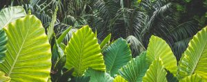 Elephant ear leaves are luscious when grown properly