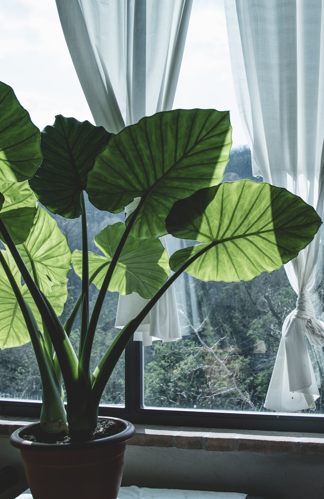 Elephant ear plant receiving proper sun