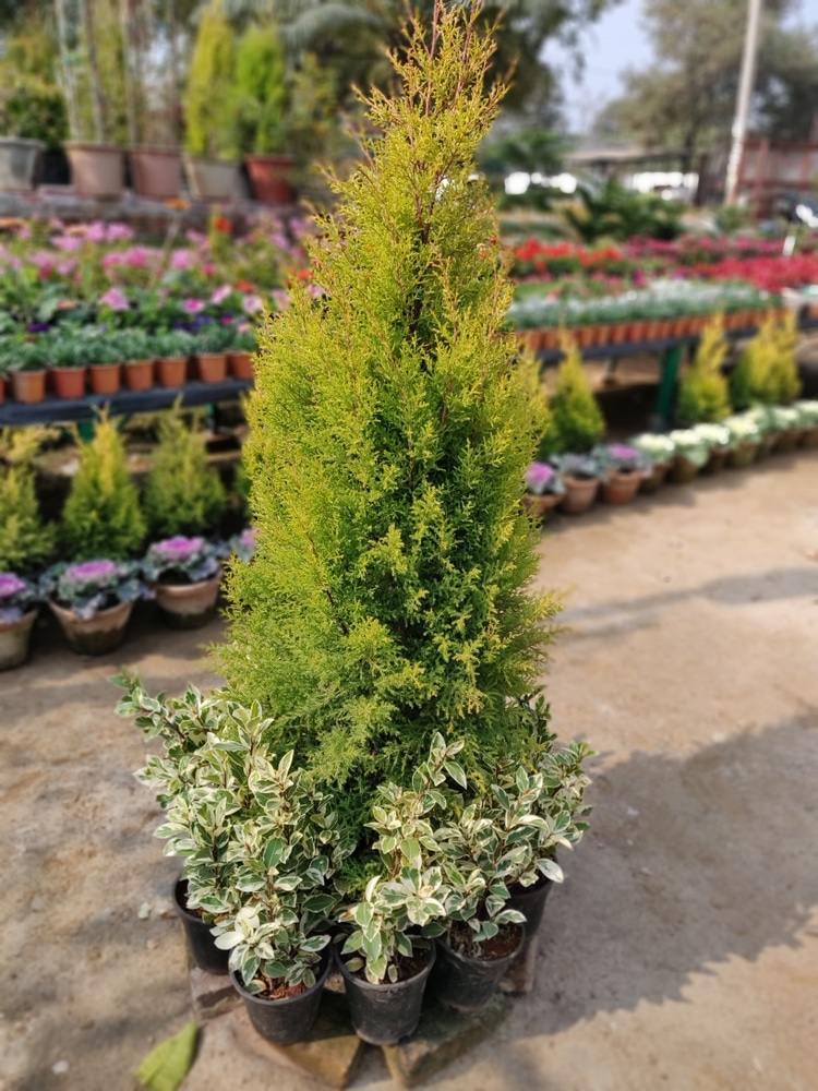 Emerald green evergreen tree are one of the most popular