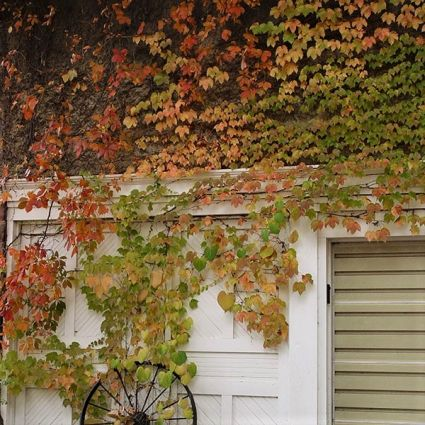 Ivy virginia creeper can add a lot of color and bulk to your garden