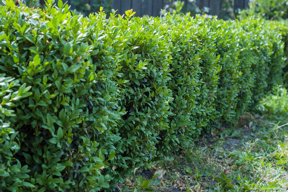 English boxwood formed into a hedge on the border of a garden.