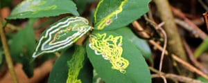 Identify and combat leaf miners with our guide