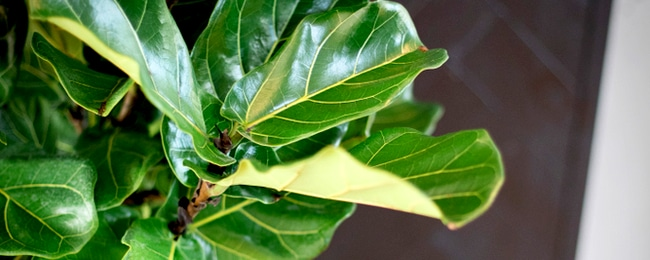 Faux Fiddle Leaf Fig Tree - A Great Alternative