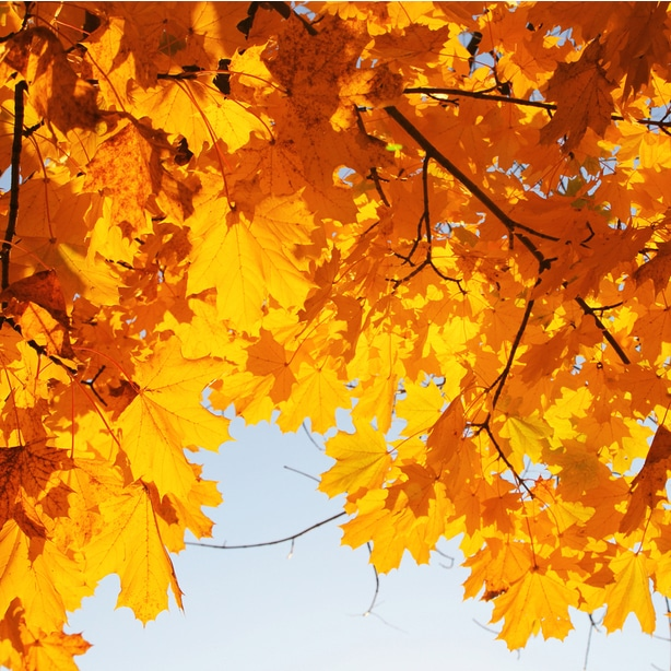 They produce beautiful orange, yellow, and red leaves in the fall.