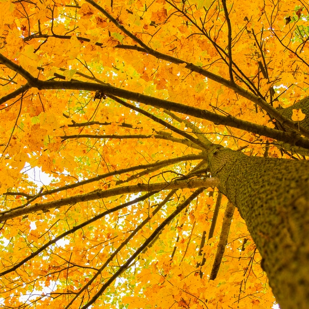 Cottonwoods foliage turns yellow in the fall
