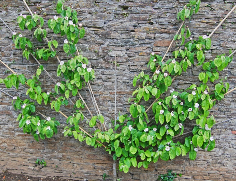 Here is an espalier tree that is created in a fanned shape.