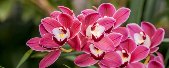 red pink cymbidium growing in nature