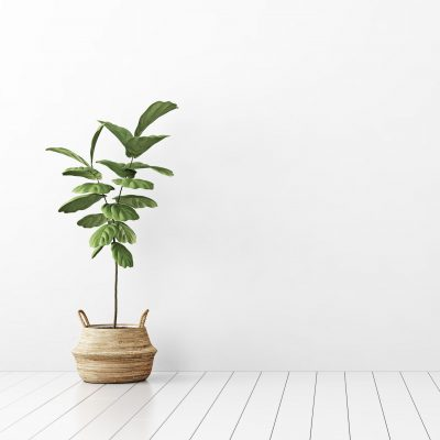 How to Care for Fiddle Leaf Fig Trees
