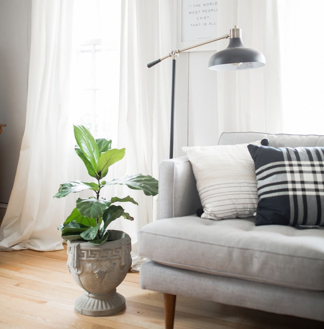 FIddle leaf fig makes a great design piece in any room.