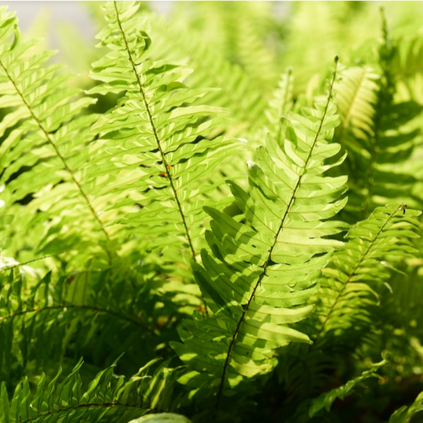 Ferns benefit from partial shade.