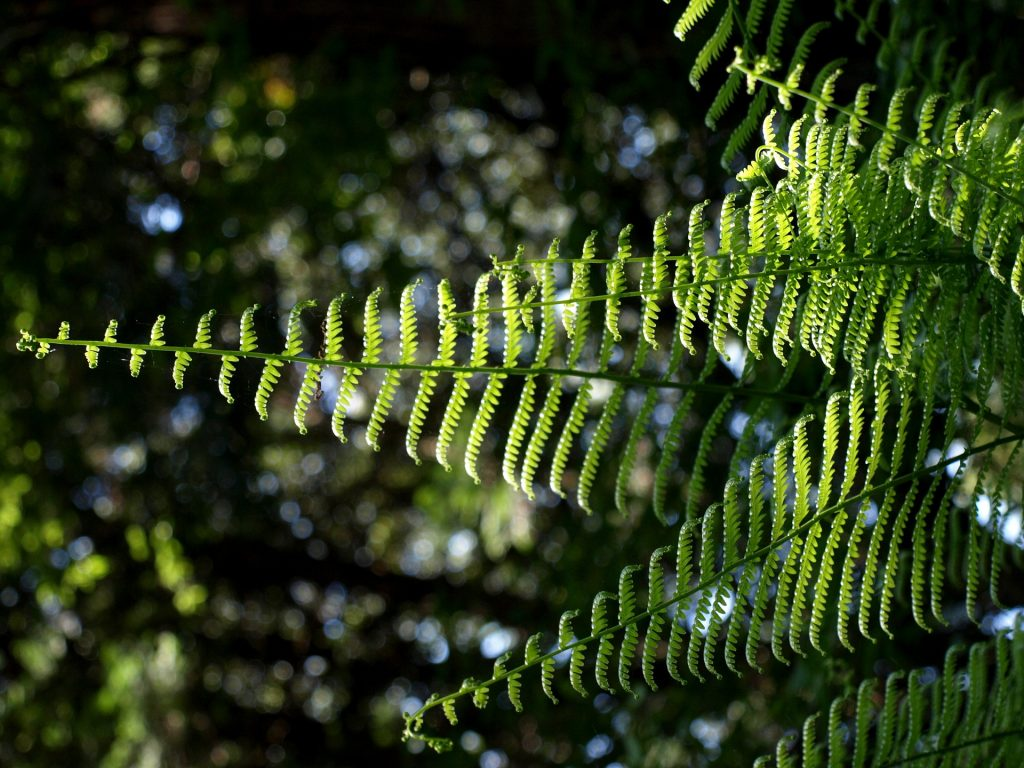 Fertilization of fern requires proper NPK ratio.