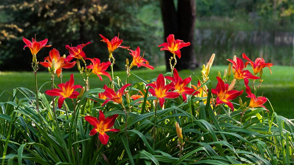 Healthy daylilies require proper fertilization, sun and water