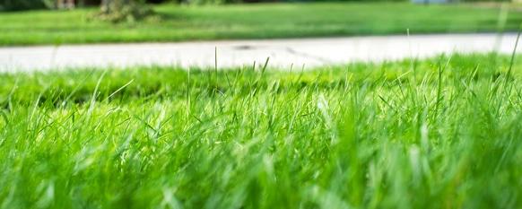Healthy fescue lawn