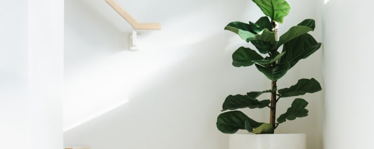 A fiddle leaf fig tree is in the corner of a staircase receiving plenty of sunlight