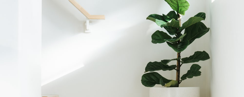 Caring for Fiddle Leaf Fig — Making it Easy with our Guide
