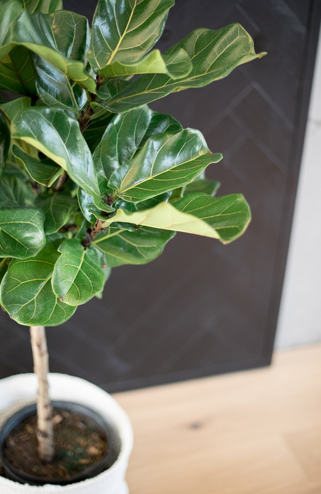 healthy ficus lyrata tree planted in well-drained dirt