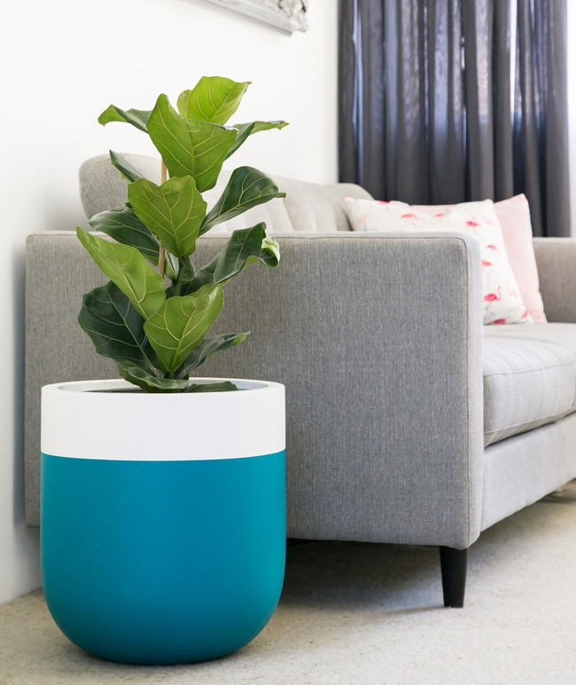 A small fiddle leaf fig in a blue and white container next to a sofa
