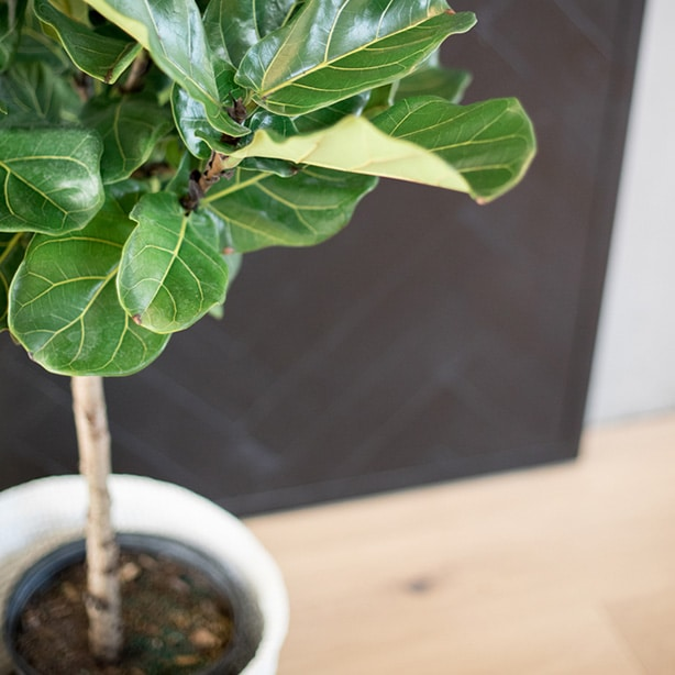 ficus lyrata tree with aerated soil and clean leaves