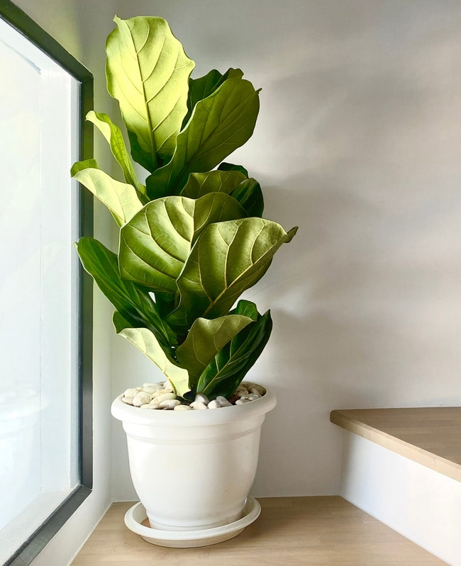 Fiddle leaf tree with luscious green leaves in front of a window