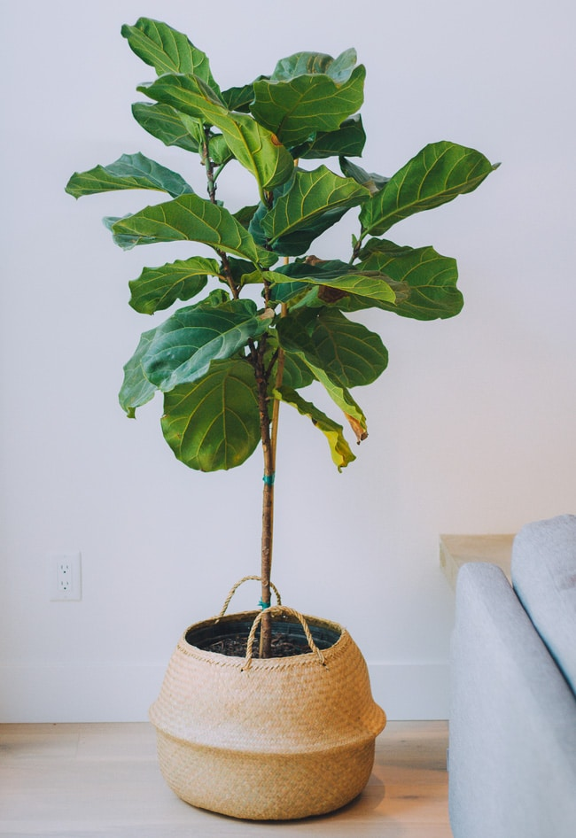 Healthy fiddle leaf tree next to a couch