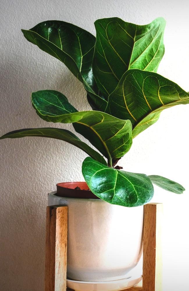 banjo fig tree in planter indoors