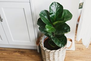 Fiddle leaf fig can really add a lot to the interior of a house