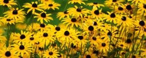 Field of yellow flowers make a bold statement