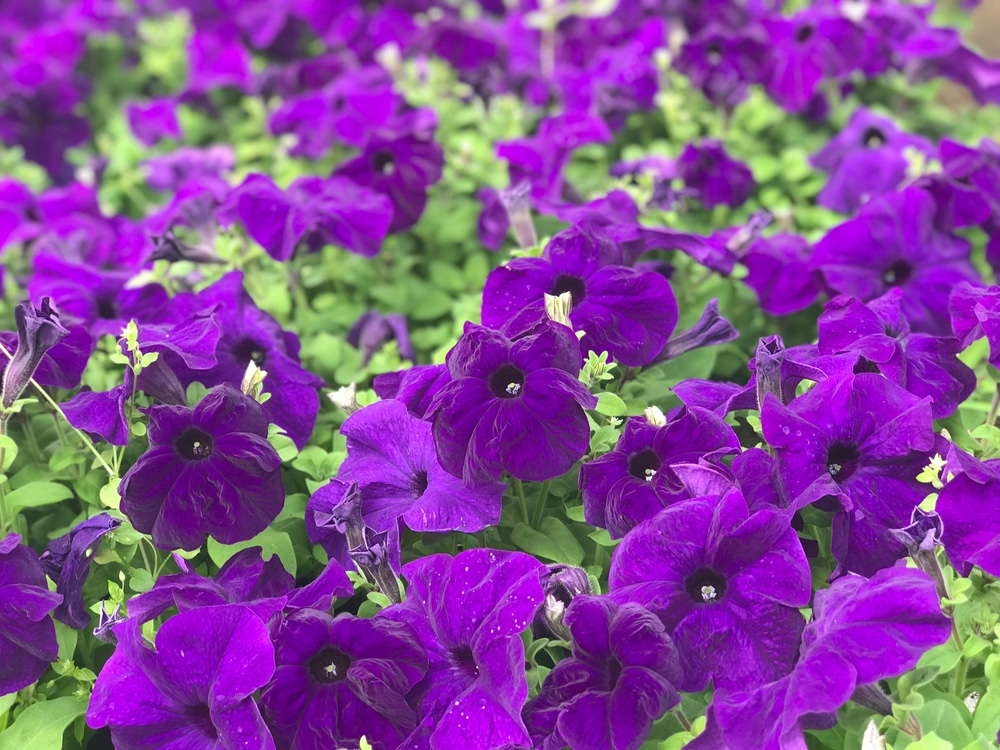 Petunias in a field are as easy to raise as just a few.