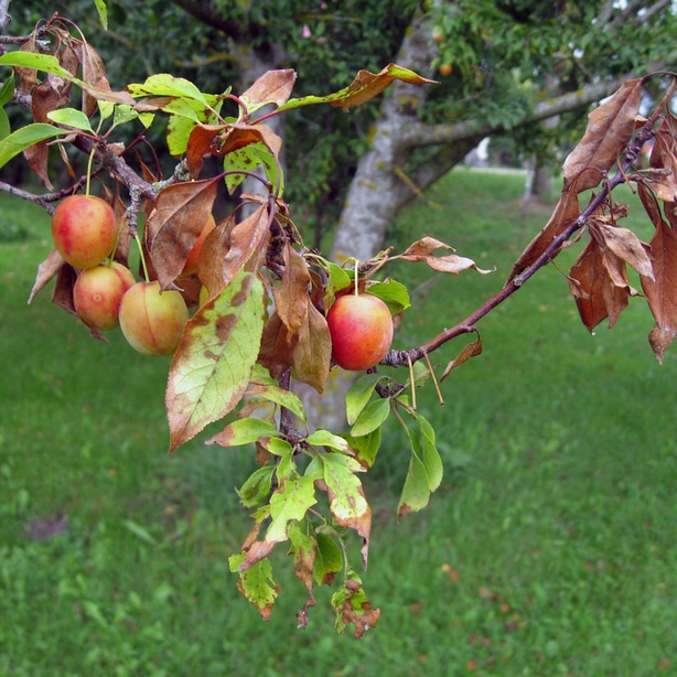 Fire blight can affect stems, leaves and shoots