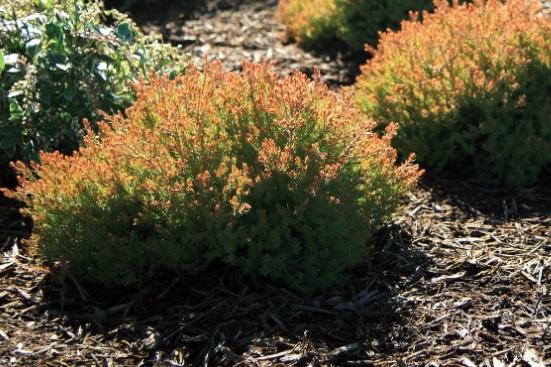 Firechief variety are a popular cultivar