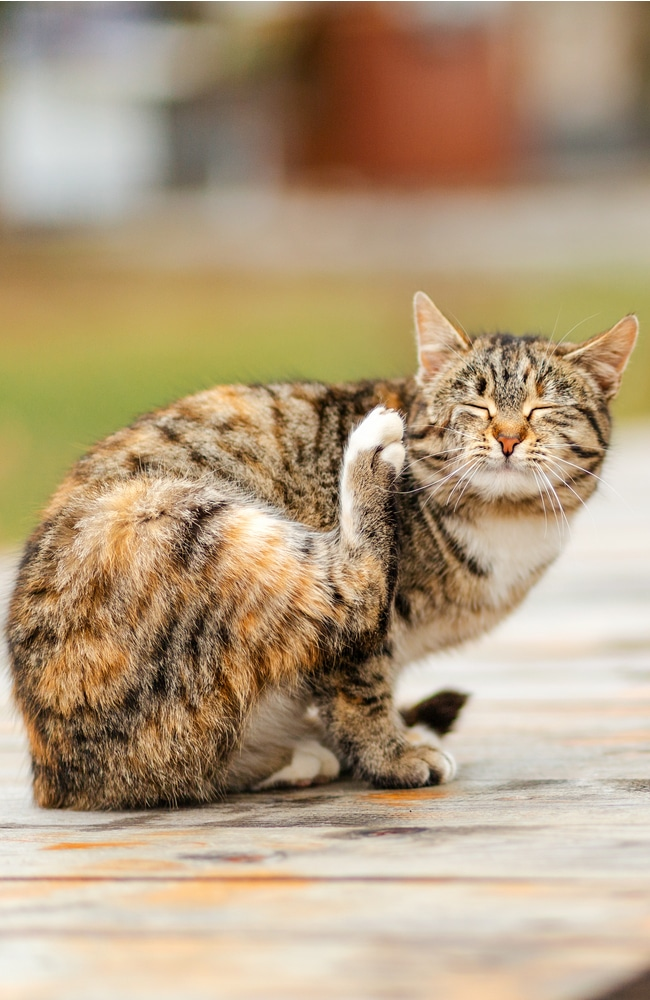 Flea can be carried by cat onto your property